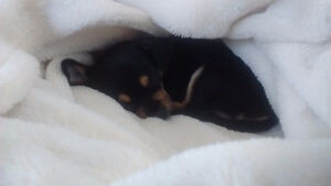 Chihuahua puppy(it's a Girl)
