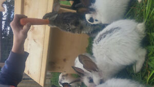 16 small 6 week rabbits for sale