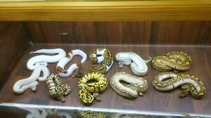 all at once sale price 18 snakes, 2 racks and incubator