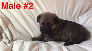 PUREBRED LAB, PUREBRED GERMAN SHEPHERD CROSS PUPS FOR SALE