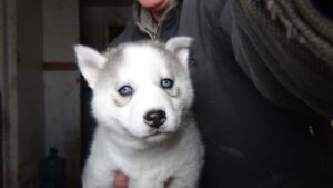 Penny's Female Silver& white available for sale