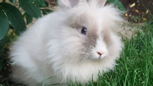 7 month old male lionhead