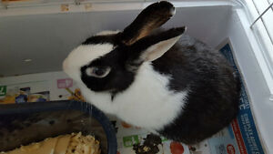 a beautiful 12 month bunny with blue eyes + cage