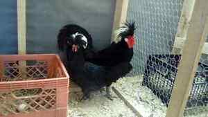 Polish chicks for sale