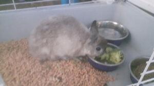 Beau lapin nain chinchilla