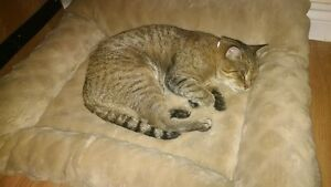 Lost Gray/Brown Tabby With Red Collar *Doon*