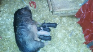 10pBaby pot belly pigs ready to go