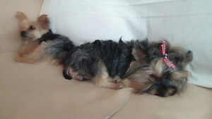 """Yorkshire Terrier """"yorkie"""" 4 males. tiny teacups.pups."""
