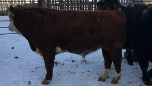 Registered Purebred 2 year old Simmental.