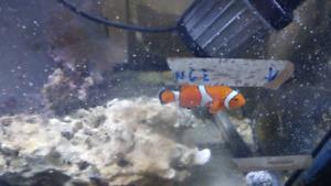 Poisson clown femelle 3 pouces eau salee