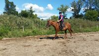 Horse for sale used for trails