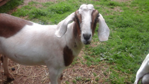 Pet goats for Rehoming