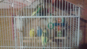 Budgies for sale  $10 each