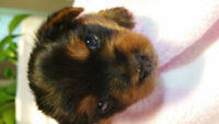 Purebred Yorkshire terrier puppies for sale 2 females left