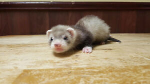 Baby Ferrets - Reserve yours now!
