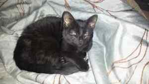 Black Kitten Free Kingston Kingston Area image 1