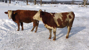 2 vaches Simmental, 1 pure sang