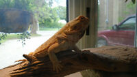 Lemon Female Bearded Dragon