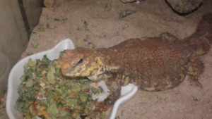 Saharan Uromastyx male&female  for sale