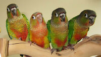Conure Babies Ready To Go Home
