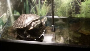 2 Red eared sliders for sale
