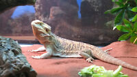8 month old Bearded Dragon with complete 48 Gal Terrarium kit