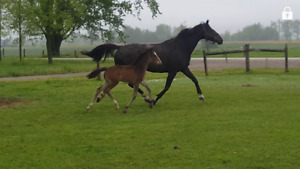 Quality CWHBA Filly by Wellington Keur Himself!