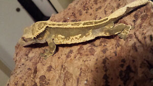 Adult male 100% pinstripe crested gecko