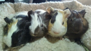 Adoption Event! GPS Guinea Pig Sanctuary is at PetValu this Sat!