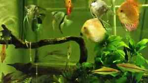 Freshwater fish for sale high quality and diverse  West Island Greater Montréal image 1