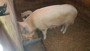 1 1/2 yr old Yorkshire Sow Pig w family at her side