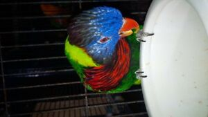 Birds for sale that are pet quality