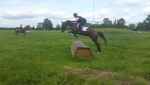 5YR TB MARE GOOD ON THE FLAT AND OVER FENCES