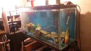 100 Gallon fish tank with over 40 african cichlids + Stand Kitchener / Waterloo Kitchener Area image 3