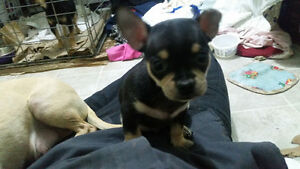 Black and brown Purebred chihuahua male