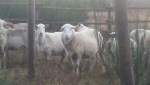 Purebred St. Croix ewes and lambs