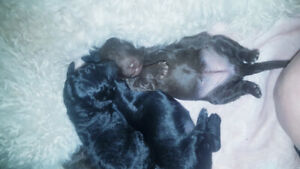 Pure bred Standard poodle puppies born feb 5th 2019