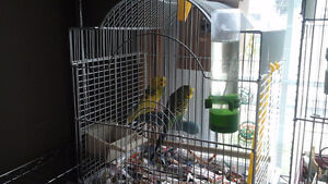 I have 2 love birds for sale white cage. And 2 budgis white cage