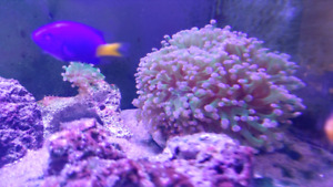 Green and purple branching frogspawn coral