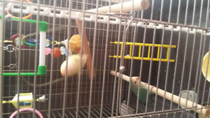 REDUCED 2 Lovebirds female is rare red eye albino BIG cage