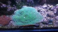 Hollywood Stunner Chalice Coral