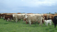Cattle position for Feedlot/Pasture