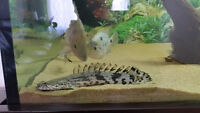 "9"" Polypterus Endlicheri Endlicheri--fish,poisson"