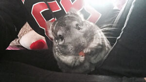 Brother chinchillas for re-homing