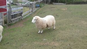 7 MONTH OLD RAM LAMB