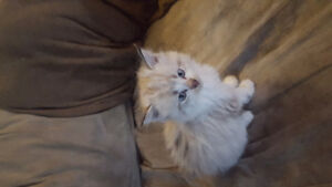 Male Ragdoll Kitten  9 Weeks old