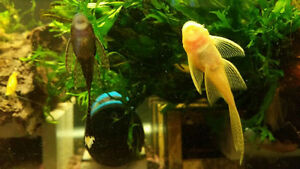 Longfin Albino / Brown Bristlenose Pleco 5 for $50  size : 2""