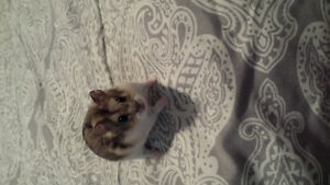 Chinese dwarf hamster plus cage - 3 months old