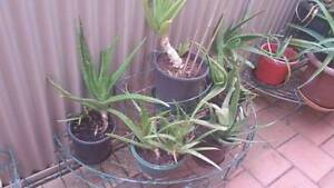 Aloe Arborescens different sizes from $12 Angle Park Port Adelaide Area Preview