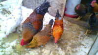 Roosters for sale $8 each or $50 for all